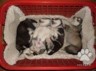 Inzercia psov: Aljašský malamut šteni...