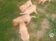 Inzercia psov: predám šteniatka