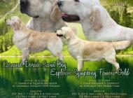 Inzercia psov: Zlatý Retriever – voln...