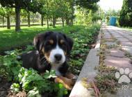 Inzercia psov: Predaj šteniatok Velké...