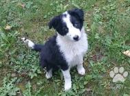 Inzercia psov: Predám čistokrvné šten...