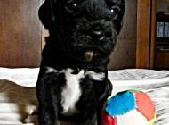 Inzercia psov: PWD / Portugalský vodn...