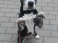 Inzercia psov: Fena APBT hľadá domov