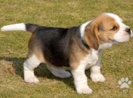 Inzercia psov: Fantastický tricolor B...