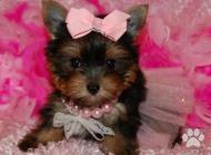 Inzercia psov: Darček šteniatko Yorks...