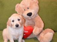 Inzercia psov: Zlatý Retriever štěňát...