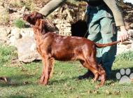 Inzercia psov: Irský setr - 5 měsíční...