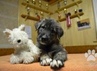 Inzercia psov: IRSKÝ VLKODAV  - krásn...
