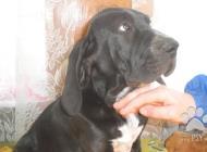 Inzercia psov: BLOODDOG - šteňatá na ...