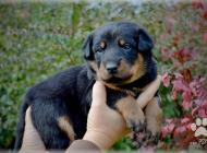 Inzercia psov: Beauceron šteniatka