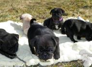Inzercia psov: predám mopslíkov