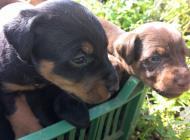 Inzercia psov: šteniatka Jagdterriera...