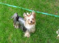 Inzercia psov: Prodám štěňata Yorkshi...