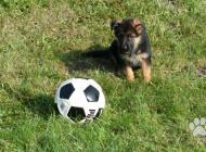 Inzercia psov: Nemecký ovčiak šteniat...