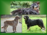 Inzercia psov: CHS nabízí štěňata hov...