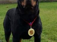 Inzercia psov: Rottweiler na krytie