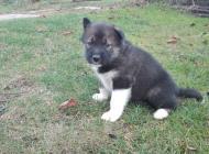 Inzercia psov: Grónský pes - štěňata ...