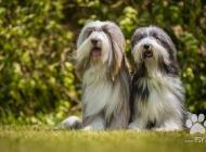 Inzercia psov: Bearded Collie krásná ...