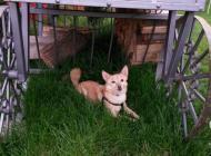 Inzercia psov: Darujeme krasneho psika