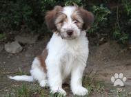 Inzercia psov: Tibetsky terier - pejs...