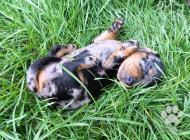 Inzercia psov: LUXUSNÝ TIGER-JAZVECIK...