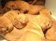 Inzercia psov: Predám šteniatka Borde...