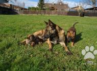 Inzercia psov: Belgický ovčák - Malinois