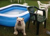 Inzercia psov: Anglický buldog na nak...