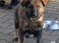 Inzercia psov: vlkošedé štěně NO s PP