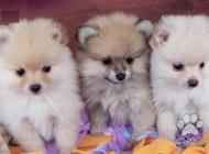 Inzercia psov: Spitz Pomeranian šteňatá