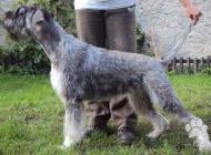 Inzercia psov: Bradac velky koreni a ...