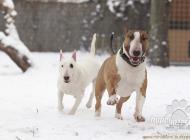 Inzercia psov: Kúpim Anglického bulte...