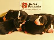 Inzercia psov: Velký švajciarsky sala...