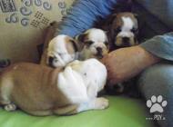 Inzercia psov: Prodám štěňata anglick...