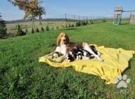 Inzercia psov: Nádherná štěňátka plem...