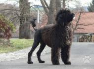 Inzercia psov: Portugalský vodný pes