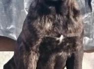 Inzercia psov: cane corso