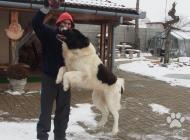 Inzercia psov: Jeho veličenstvo Sultán