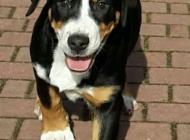 Inzercia psov: Prodám štěňata Velkého...