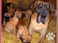 Inzercia psov: Německá doga