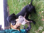 Inzercia psov: Německý krátkosrstý st...