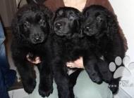 Inzercia psov: Hovawart - štěňata