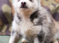 Inzercia psov: Steniatka Sibirsky Husky