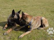 Inzercia psov: Belgický ovčiak - Mali...