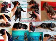 Inzercia psov: Beauceron- šteniatka s PP