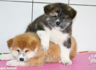 Inzercia psov: Japonská Akita šteňatá...