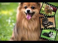 Inzercia psov: Německý špic - kvalitn...