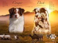 Inzercia psov: Australský ovčák s PP