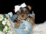 Inzercia psov: Yorkšírský teriér na p...
