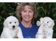 Inzercia psov: Zlatý retrívr na prode...